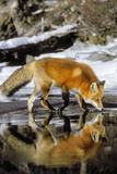 Red Fox Along Edge of Freezing Lake, November Fotografisk tryk