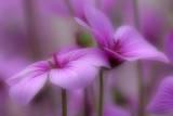 Madeiran Cranesbill Pink Coloured Blossoms Photographic Print