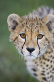 Cheetah 7-9 Month Old Cub Photographic Print