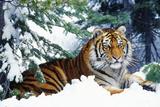 Siberian Amur Tiger Lying in Snow Photographic Print