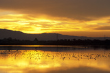 Shorebirds on Salt Pond at Sunrise Photographie