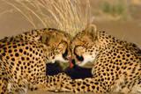 Cheetah Pair Grooming, Facing Photographic Print