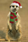 Suricate on Hind Legs Wearing Christmas Hat and Scarf Photographic Print