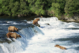 Grizzly Bears Fishing for Salmon at Brooks Falls Photographic Print