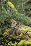 Ruffed Grouse Drumming (Spring Mating-Territorial Display) Photographic Print