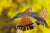 American Kestrel Displaying, Wings Oustretched Photographic Print
