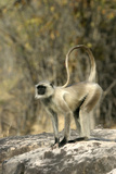 Grey or Common Langur Monkey Photographic Print