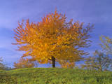 Cherry Tree with Brightly Yellow Coloured Autumn Foliage Photographic Print