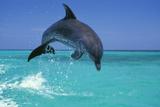 Bottlenosed Dolphin Fotografisk tryk