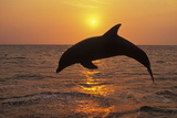 Bottlenosed Dolphin Leaping Out of Water at Sunset Photographic Print