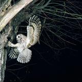 Tawny Owl in Flight, Towards Nest Fotoprint