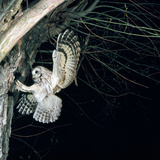 Tawny Owl in Flight, Towards Nest Photographic Print