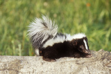 Striped Skunk Baby Photographic Print