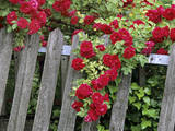 Rose Garden Picket Fence Overgrown by a Bush of Red Roses Photographic Print