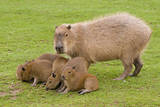 Capybara with Young Photographic Print