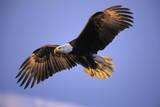 Bald Eagle in Flight, Early Morning Light Fotografie-Druck
