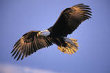 Bald Eagle in Flight, Early Morning Light Photographic Print