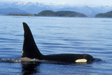 Orca Whale Male Photographic Print