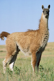 Llama Side View Photographic Print