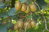 Kiwifruit Ripe Fruits Hanging in Bunches from the Plants Photographic Print