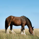 Shire Horse in Field Grazing Photographic Print