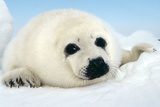 Harp Seal Pup Close Up of Appealing Face Photographic Print