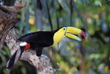 Sulphur-Breasted Toucan Photographic Print
