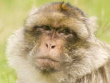 Barbary Macaque Photographic Print