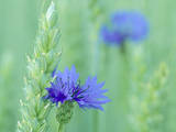 Cornflowers Growing Amidst Wheat Field Photographic Print
