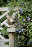 Tabby Kitten Photographic Print