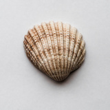 Sea Shell Photographic Print by Clive Nolan