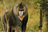 Mandrill Baboon Photographic Print