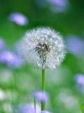 Dandelion Clock Fotografisk tryk