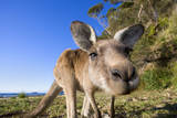 Eastern Grey Kangaroo Super Wide Angle Shot Of Photographic Print