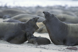 Northern Elephant Seal Females Squabbling Over Photographic Print