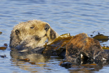 Sea Otter Resting in Kelp Photographic Print