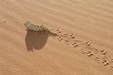 Namaqua Chameleon Leaving Trail in Sand Fotografisk tryk