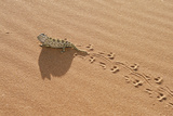Namaqua Chameleon Leaving Trail in Sand Photographic Print