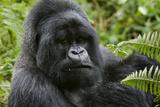 Mountain Gorilla Silverback Fotografisk tryk