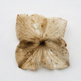 Dried Flower Photographic Print by Clive Nolan