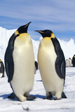 Emperor Penguins Pair Photographic Print