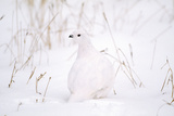 Rock Ptarmigan in Snow Photographic Print