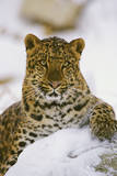 Korean Leopard Endangered Species Photographic Print