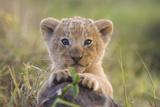 Löwenjunges Fotodruck