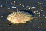 Scallop Empty Shell of a Scallop Washed Ashore Photographic Print