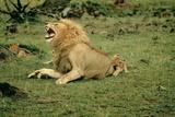 Lion Single Male Roaring with Cub Biting Rump Fotografisk tryk