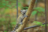 Ring-Tailed Lemur Young Photographic Print