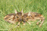 Roe Deer Fawns Photographic Print