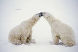 Polar Bears Photographic Print