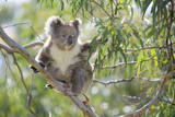 Koala Adult Sitting High Up in the Trees Fotografisk tryk